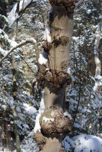 burls on a maple