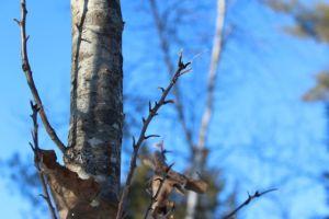 oak leaf phenom