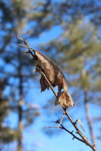oak leaf phenom1