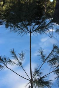 white pine growth