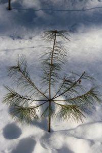 white pine whirl