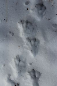 Beaver tracks Dec 5