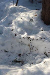 deer and squirrel, hemlock cover