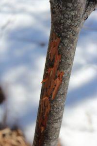 deer scrape