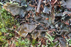 Kidney lichen