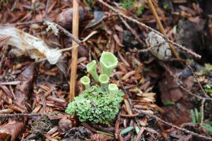 Mealy Pixie cup lichen