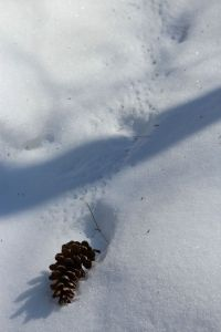 pinecone tracks