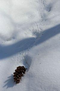 pinecone tracks