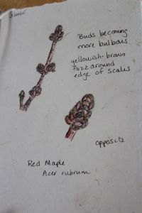 red maple 1