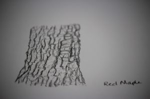 red maple sketch