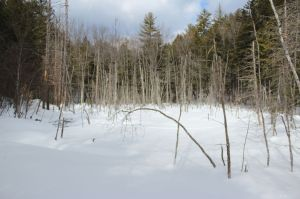 red maple swamp