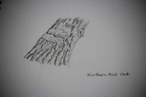 red oak sketch