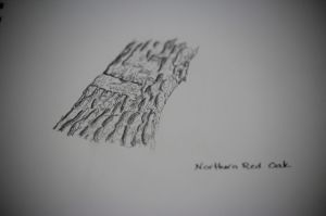 red oak sketch