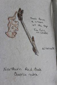 red oak1