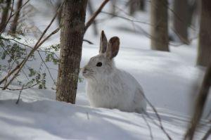 snowshoe 2