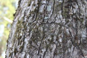 sugar maple borer