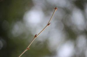 yellow birch1