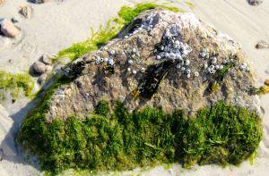 barnacles:seaweed