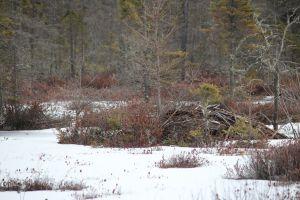beaver lodge:fen