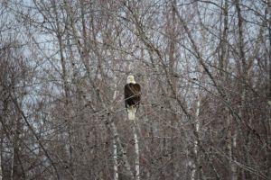 Eagle 1a