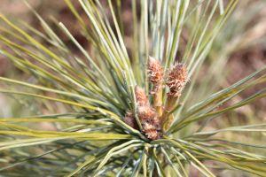 pine candelabras