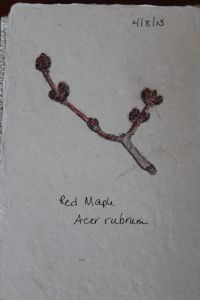 red maplesketch