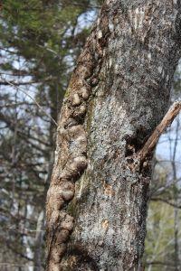 red oak growth