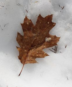 red oak leaf