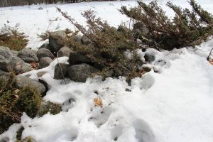 stone wall deer