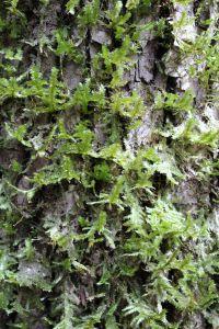 tree chain lichen