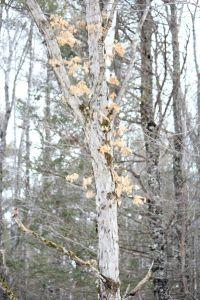 white oak 2