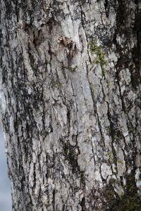 white oak1