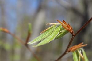 Beech Leaves unfurl