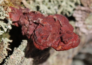 hemlock polypore, Ganoderma tsugae