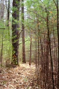 pine age