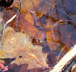 VP frog May 2