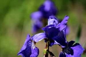 blue flag iris reflection