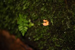 Cordyceps militaris - Scarlet Caterpillarclub
