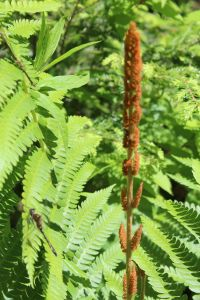 dragonfly and cinnamon fern