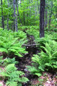 ferns by stream