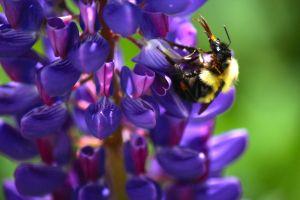 lupine, bee