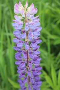 lupine purple