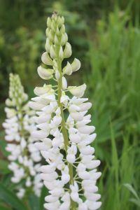 lupine white