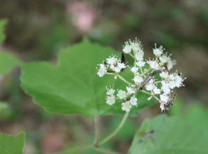 maple leaf vibur2
