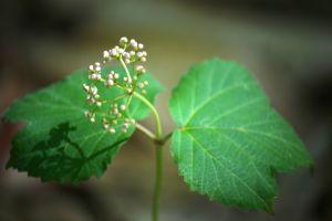 Maple Leaf Viburnum