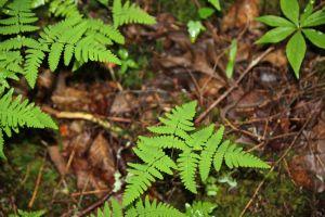 northern oak fern