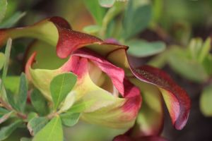 pitcher plant flowering
