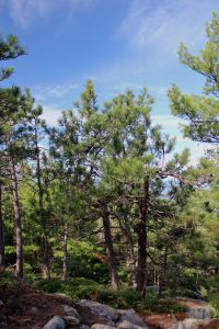 red pines healthy 2