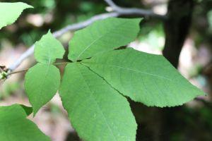 shag leaf