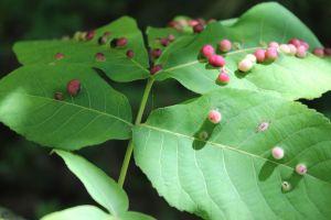 shagbark hickory leaf and galls